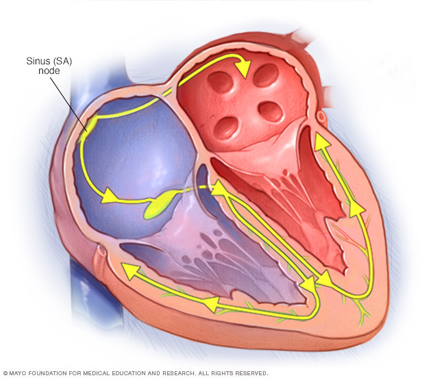 The heart's conduction system