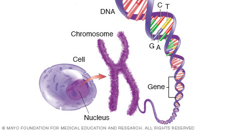 Cell, chromosome, gene and DNA