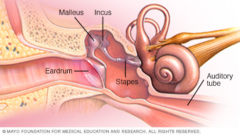 Illustration showing parts of the middle ear