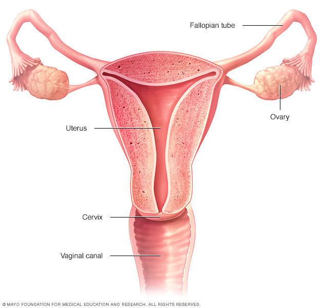 Locations of female reproductive organs